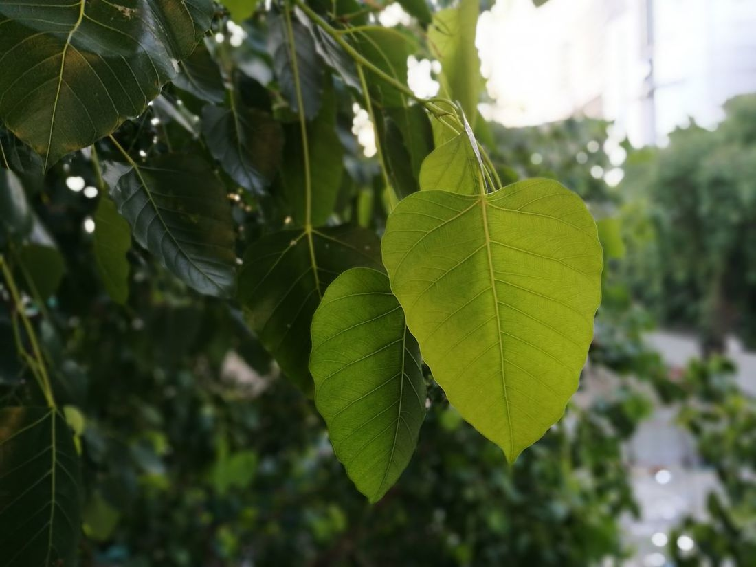 Bodhitree Leaf Focus On Foreground Depth Of Field