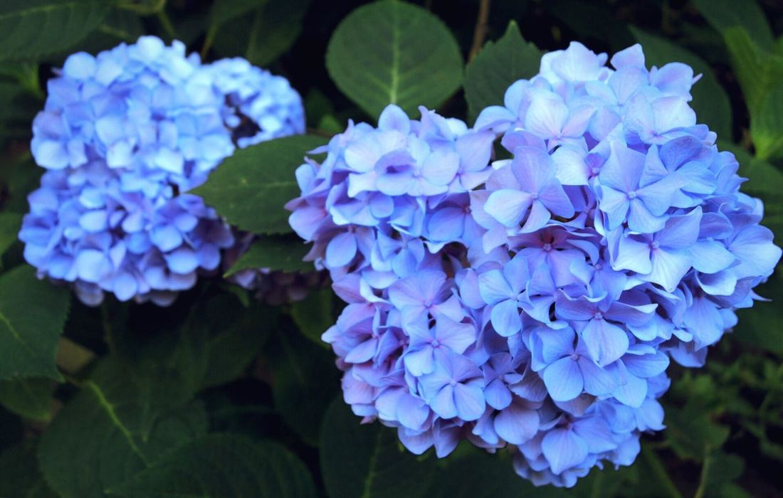 Blue hydrangea. Flower Beauty In Nature Growth Nature Fragility Freshness Petal Plant Hydrangea Purple Blue Outdoors Flower Head Blooming Day No People Close-up Bluecolor Blue Color Hydrangea Hydrangeas Fresh Solitude Marylandisforcrabs🦀