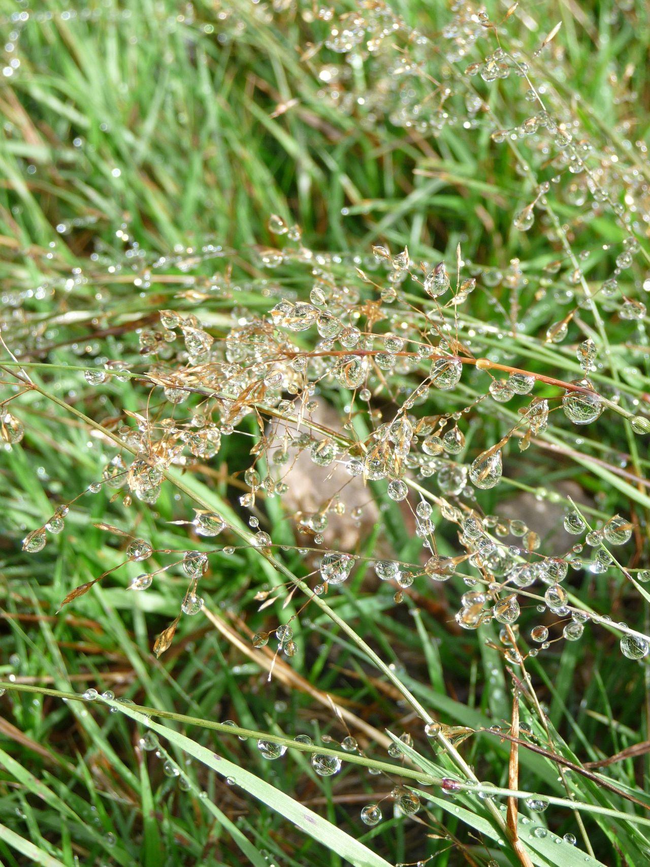 Schwarzwald Westweg Black Forest Tautropfen Dewdrops Grass Dew No Edit/no Filter Dew #morning #drops #plant #nature