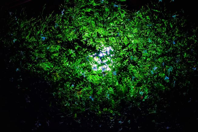 Green Color Low Angle View Nature Dark Branch Greenery Nightphotography Jasmine Flower Jasmine Collection Abstract Art Abstract Nature