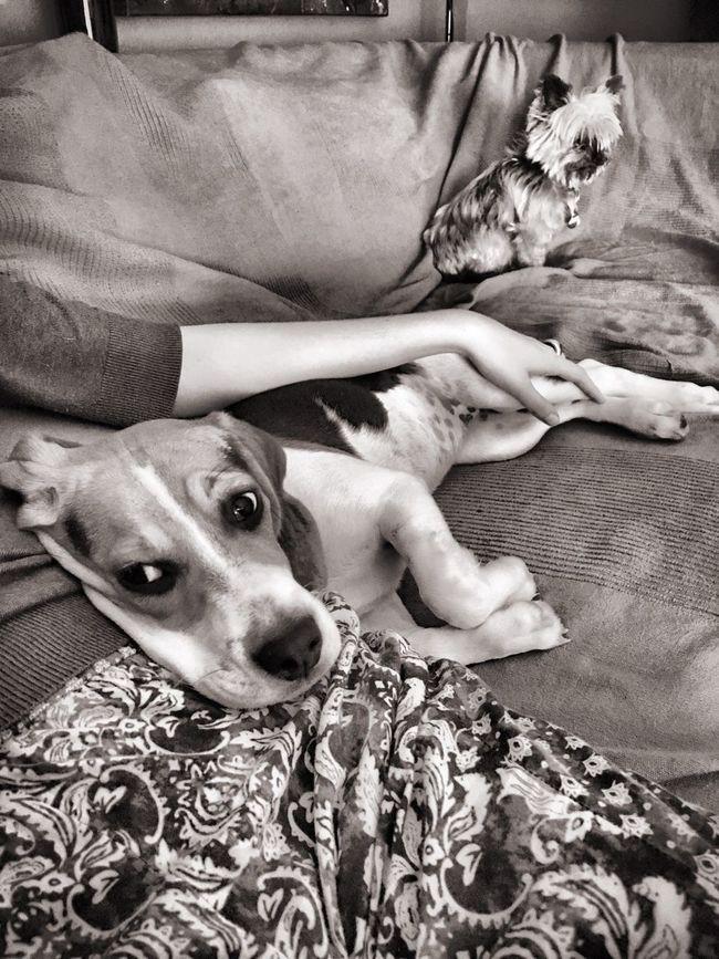 Beagle Love Dog Animal Themes Relaxation Lying Down Pets One Animal Beagle Beagles  Beaglelovers Beaglestagram Beaglelife Dogs Dog Love Dogslife Dog❤ Dogs Of EyeEm Dogoftheday Dogsofinstagram Puppy Puppy Love Puppies Blackandwhite Chilling First Eyeem Photo