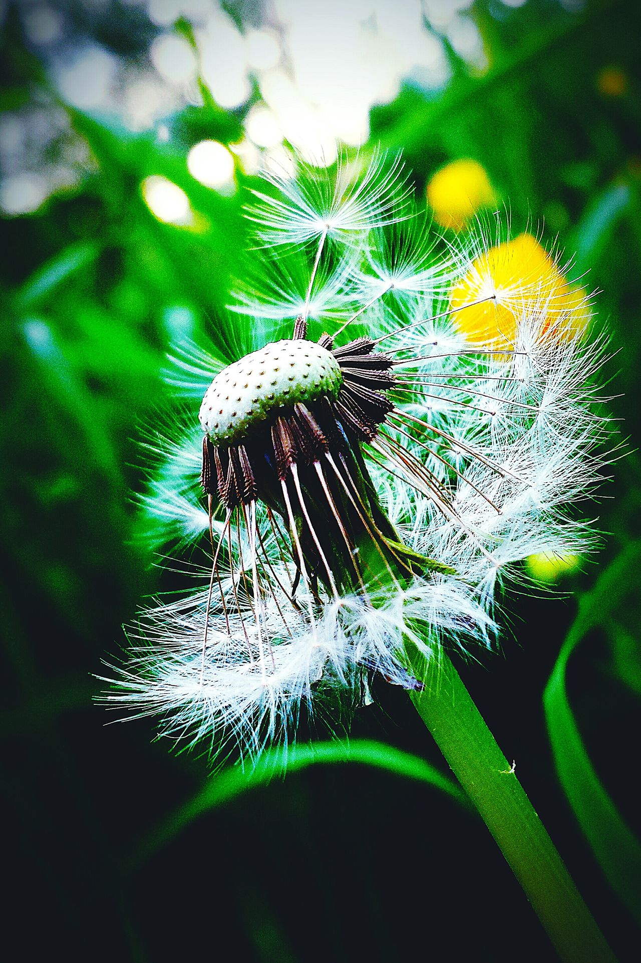 Dandelionfluff Dandelion Seeds Dandelion Wishinn Make A Wish ! Flower Beautiful Nature