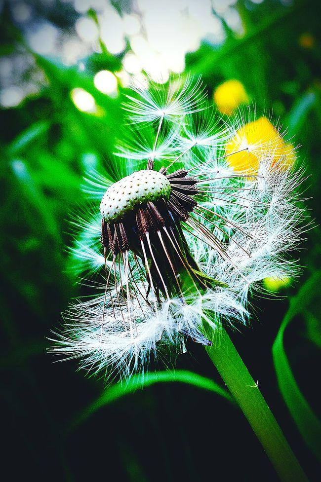 Dandelionfluff Dandelion Seeds Dandelion Wishinn Make A Wish ! Flower Beautiful Nature