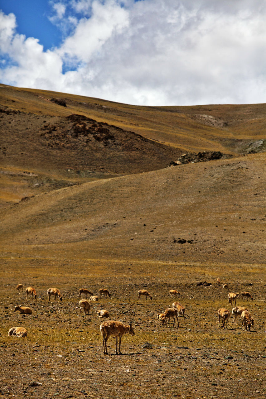 nature, animals in the wild, mountain, cloud - sky, landscape, outdoors, sky, animal themes, day, no people, mammal, animal wildlife, scenics, llama, mountain range, arid climate, beauty in nature, large group of animals, grazing, desert, grass