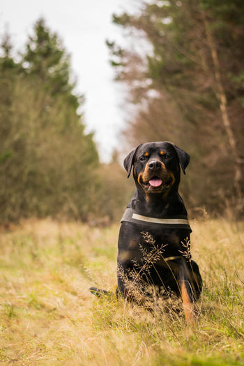 My boys Loving Animal Themes Blackandtan Close-up Day Dog Domestic Animals Loyalty Mammal Mansbestfriend Nature No People One Animal Outdoors Pets Rottweiler