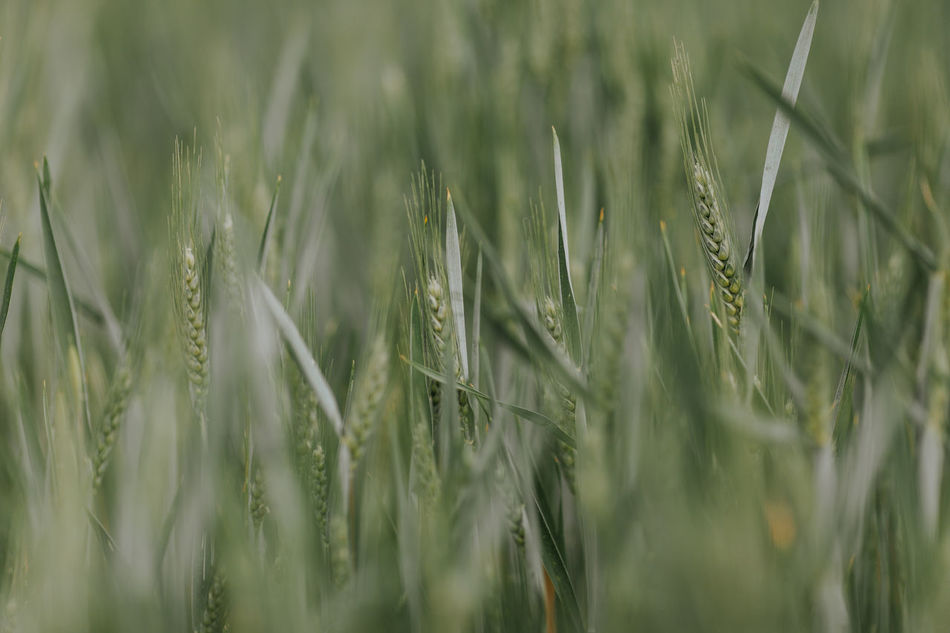 Agriculture Agriculture Beauty In Nature Cereal Cereal Plant Close-up Crop  Day Ear Of Wheat Field Grass Green Color Growth Nature No People Outdoors Plant Rural Scene Selective Focus Tranquility Wheat Wheat Wheat Field