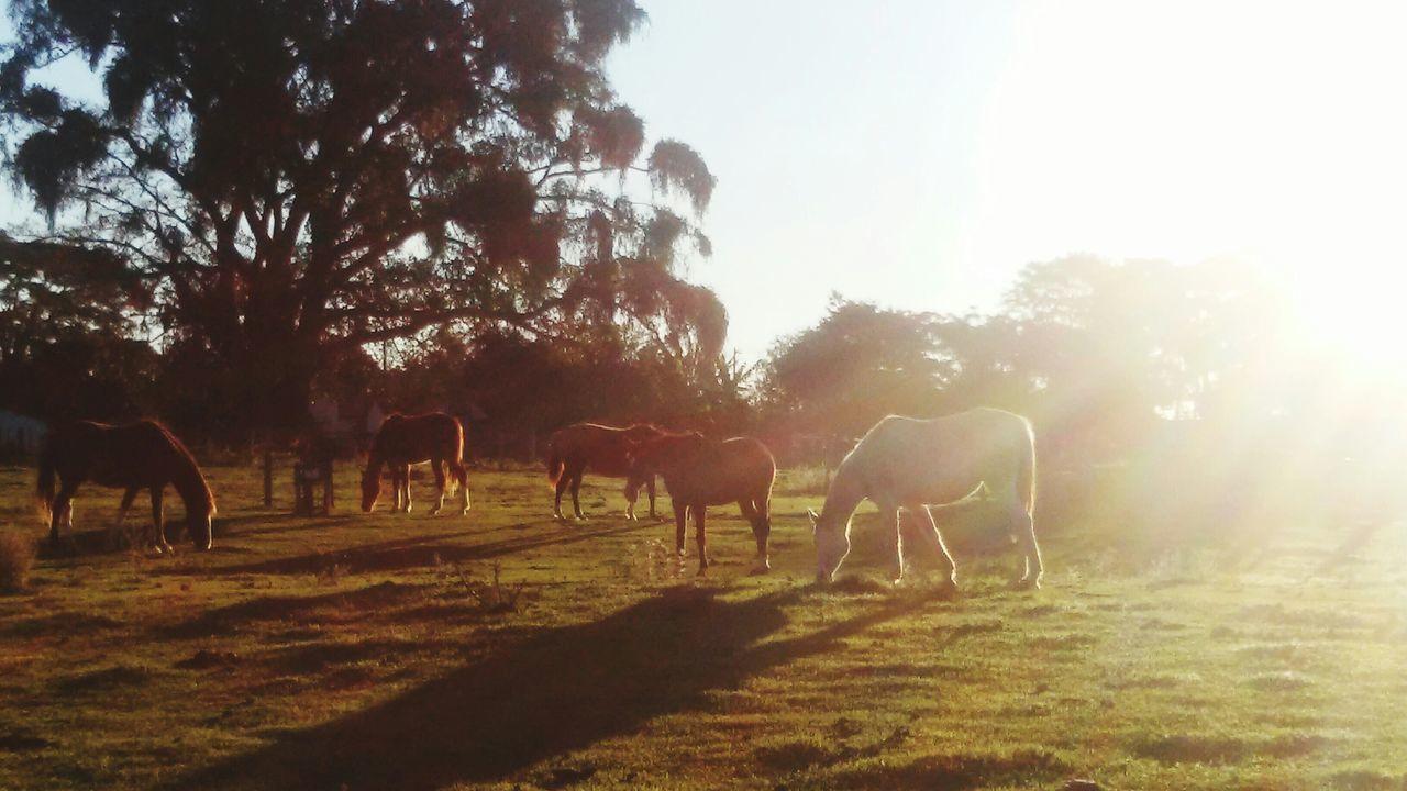 horse, domestic animals, mammal, animal themes, tree, livestock, sunlight, grazing, nature, field, grass, no people, day, farm animal, standing, landscape, outdoors, sky