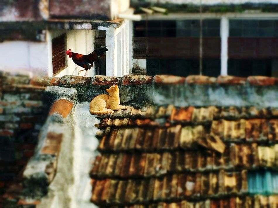 Animal Themes Bird Cat Rooster Cute Domestic Animals No People Pets Outdoors Day Roof in Santa Clara, Cuba Art Is Everywhere The Secret Spaces