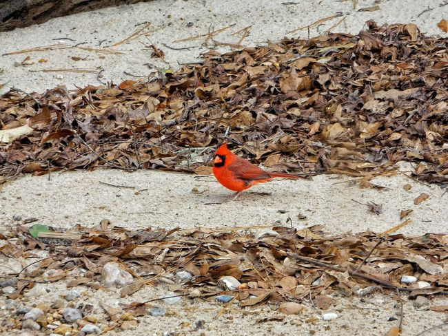 Mississippi  Country Life Outdoor Photography Showcase: January Redbird Cardinals Birds Birds_collection