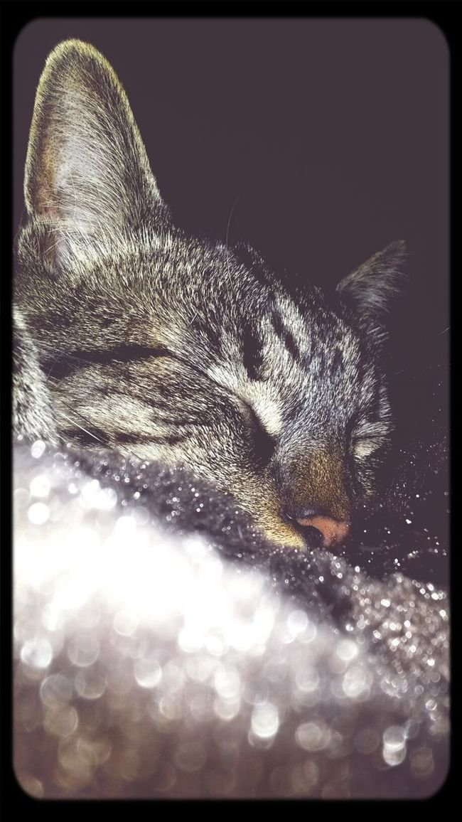 Last night of cuddles with my lil gobs. Iloveyoualwaysandforever Crazycatlady