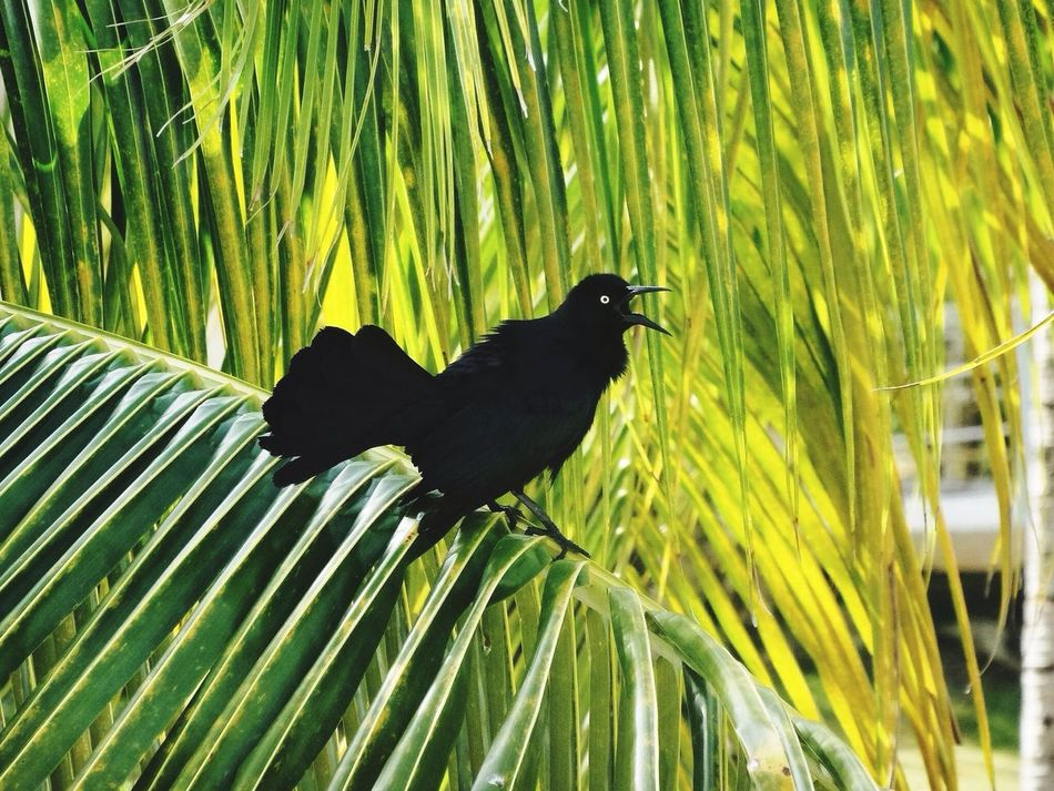 Bird Black Fan Tail Eyes Plant Palm Tree Green Chirping