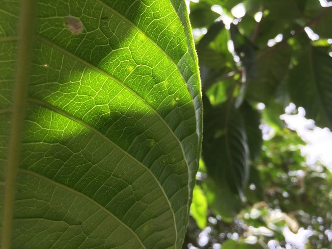 Leaf Green Color Nature Leaf Vein Close-up Plant Growth No People One Animal Outdoors Animal Themes Insect Day Animals In The Wild Fragility Beauty In Nature Freshness EyeEm Best Shots