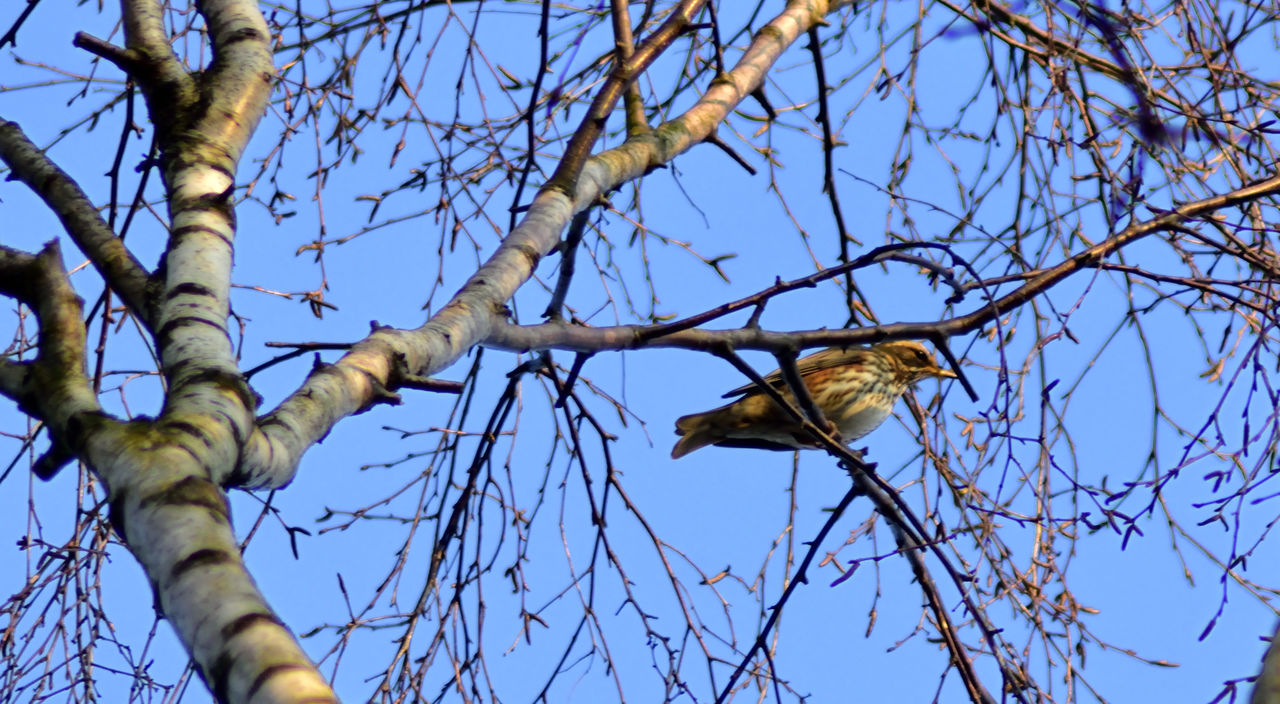At Lightwater Country Park Animals In The Wild Bare Tree Beauty In Nature Bird Low Angle View Nature One Animal Perching Thrush Tree Wildlife Turdos Philomelus