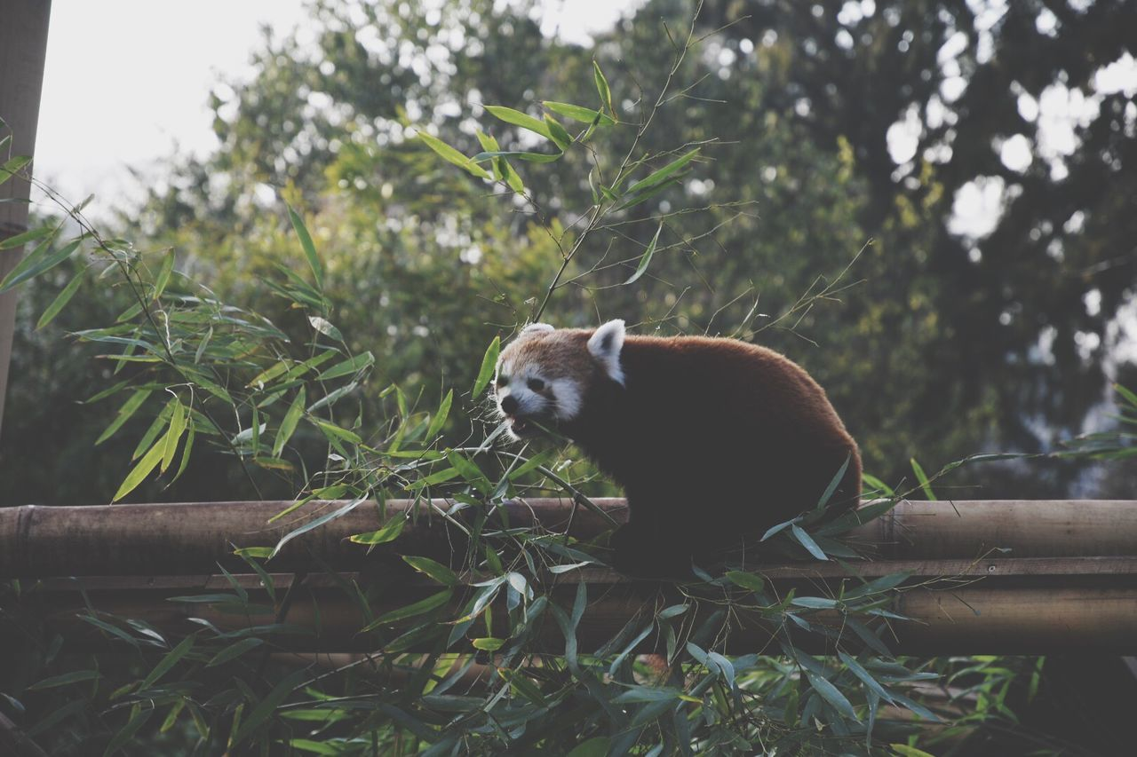 One Animal Animal Themes Animals In The Wild Tree Animal Wildlife Mammal Red Panda Panda - Animal No People Day Outdoors Nature Close-up Red Panda Ménagerie Tree Animal On A Tree Eating Animal Eating