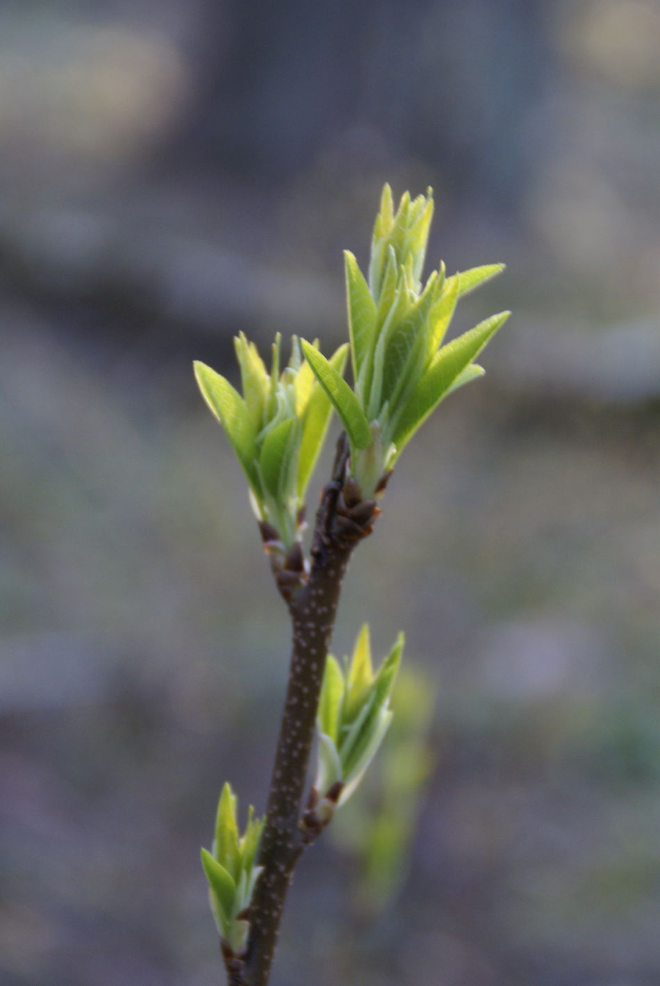 Beauty In Nature Beginnings Bloom Branch Close Up Close-up Day Focus On Foreground Forest Forest Photography Forestwalk Fragility Freshness Green Growth Leaf Leaves Macro Nature New Life No People Outdoors Pine Tree Plant Sun