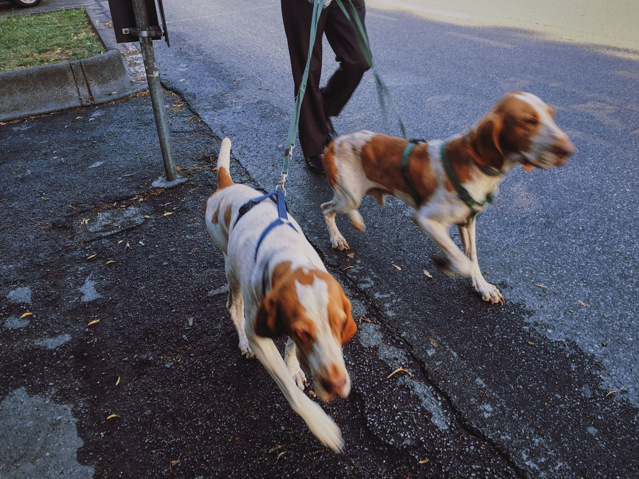 Walk the dogs every morning. Brown Bus Stop Countryside Dog Dogs Domestic Animals HOUNDS Leash Leashed Mammal Outdoors Road Street Tweegram Walk The Dog Walking The Dog White