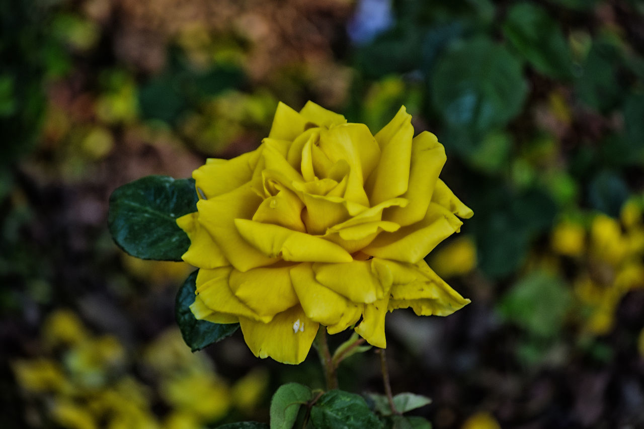 Beauty In Nature Blooming EyeEm Best Shots EyeEm Nature Lover Flower Flower Head Flowers Focus On Foreground Fragility Growth Gul Gulhane Gulhaneparki Nature Nature Nature_collection Rose - Flower Roses Rose🌹 Rosé Yellow Yellow Color Yellow Flower Yellow Flowers Yellow Rose