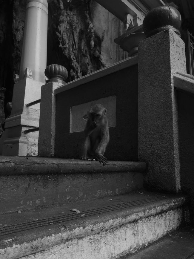 Animal Themes Batu Caves Batu Caves -Malaysia Blackandwhite Freedom Monkey Monkeys One Animal