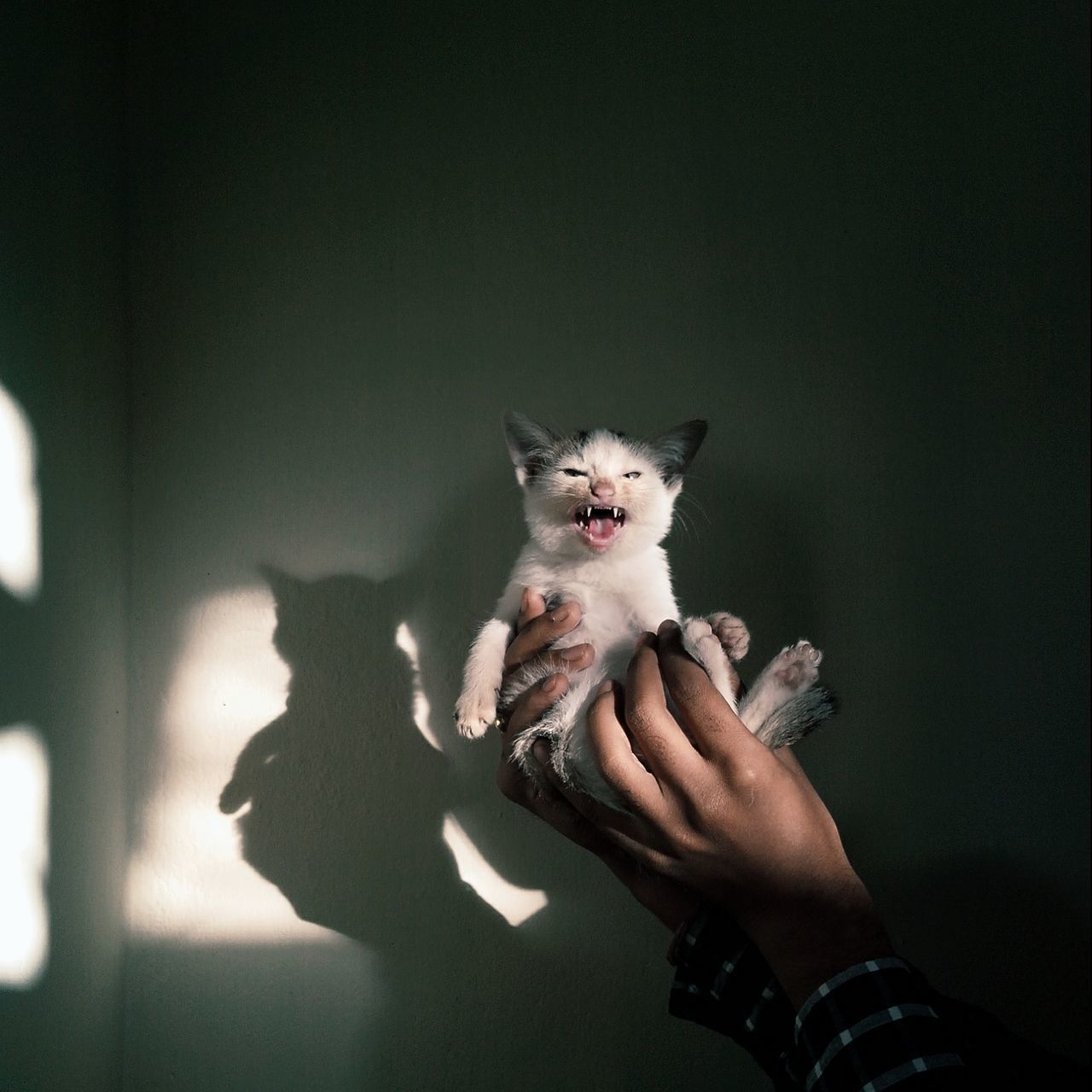 Cropped Hands Holding Angry Cat Against Wall At Home