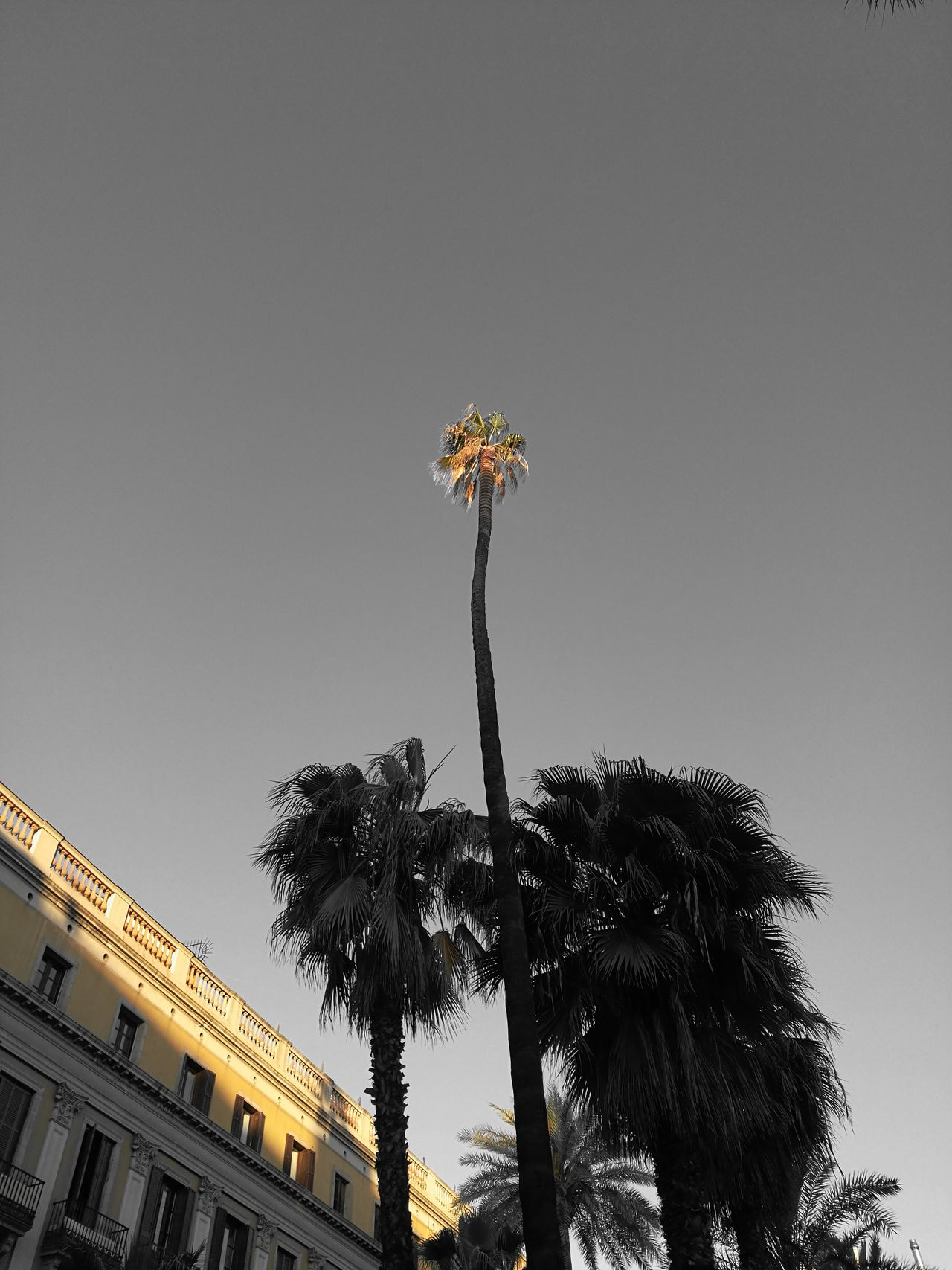 Palm Tree Palms Barcelona Black & White Hightrees High Sky Light And Shadow Lights No People Streetphotography