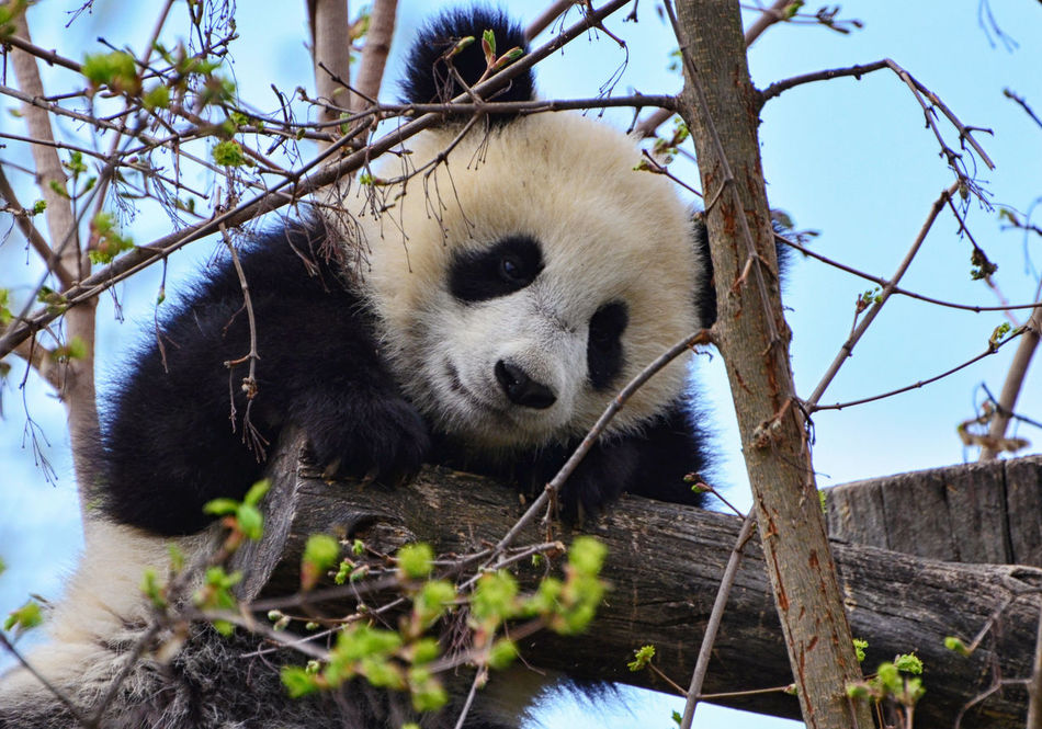 Animal Themes Animals In The Wild Black And White Cute Endangered Animals Giant Panda Low Angle View Mammal No People One Animal Outdoors Panda - Animal Panda Bear Panda Cub Panda On Tree Tree Young Animal