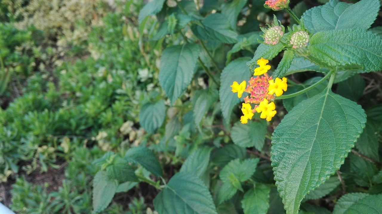 leaf, growth, green color, nature, plant, outdoors, day, freshness, fragility, flower, beauty in nature, yellow, petal, close-up, no people, lantana camara, blooming, flower head