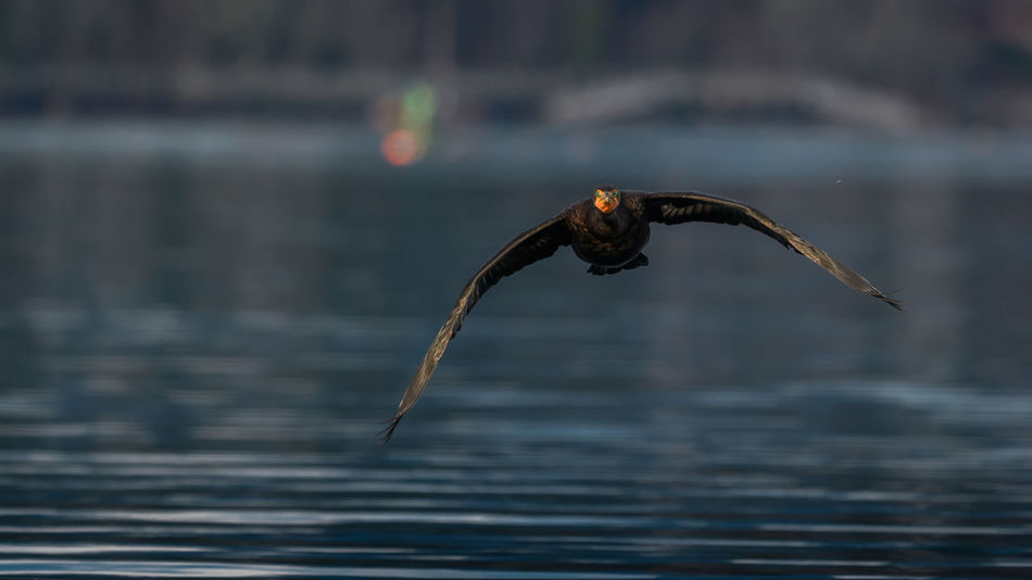 Lovely green eyes on the double-crested cormorant. Animal Themes Animal Wildlife Animals In The Wild Bird Bird Of Prey Close Up Close-up Cormorant  Double Crested Cormorant Double-crested Cormorant Facing Camera Flying Focus On Foreground Green Eyes Head On Outdoors Spread Wings The Spit Water