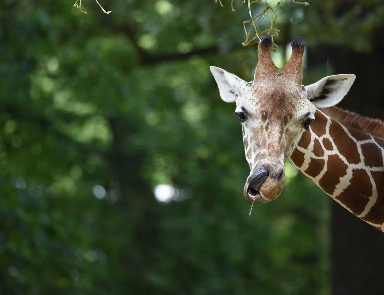 Beautiful stock photos of giraffe, Animal Themes, Animal Wildlife, Animals In The Wild, Beauty In Nature