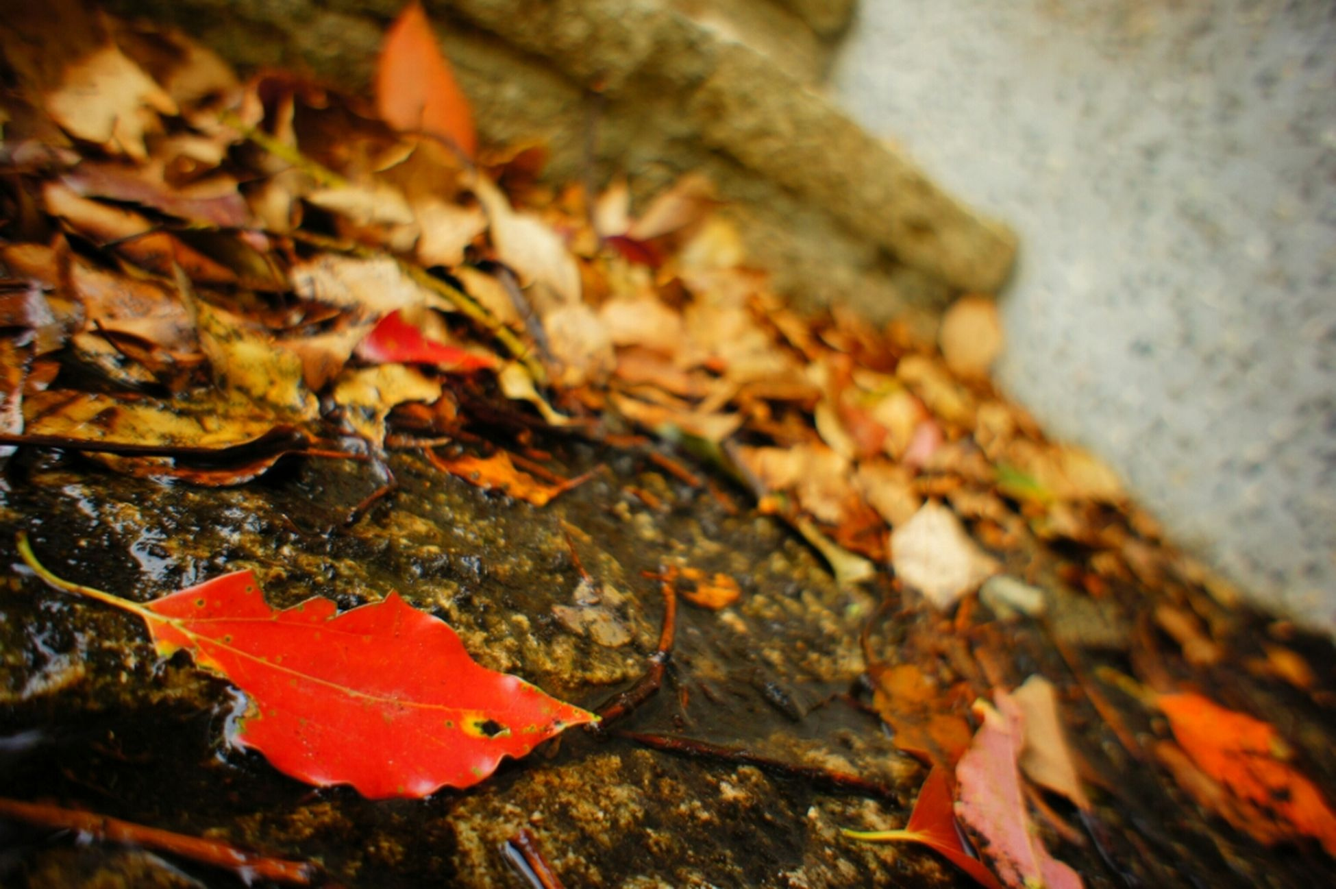autumn, leaf, change, leaves, season, close-up, dry, red, nature, fallen, selective focus, maple leaf, focus on foreground, orange color, day, wet, outdoors, water, no people, tranquility