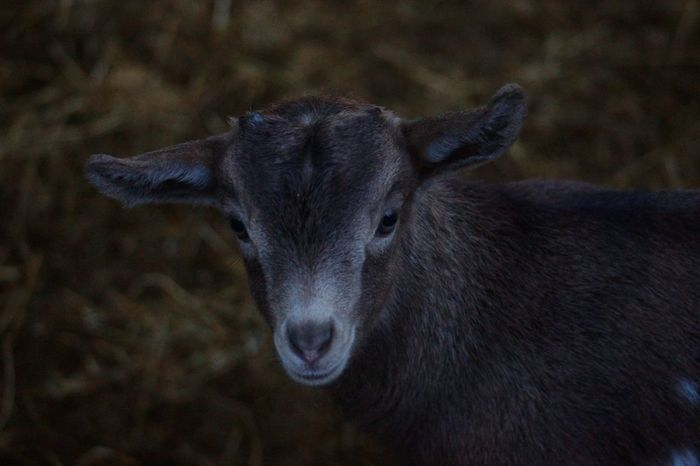 One Animal No People Animals In The Wild Nature Animal Themes Outdoors Mammal Close-up Day Nature Beauty In Nature EyeEm Gallery Focus On Foreground EyeEm Best Shots Farm Looking At Camera Pets Budakeszi Wild Park Kid Goat Inocent♥ Branch Portrait Goat Domestic Animals Livestock