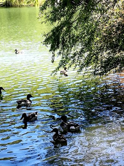 Bird Animals In The Wild Animal Wildlife Water Duck Animal Themes Swimming Lake Water Bird Mallard Duck Nature Reflection Floating On Water Rippled Outdoors Large Group Of Animals Group Of Animals Flock Of Birds Day No People