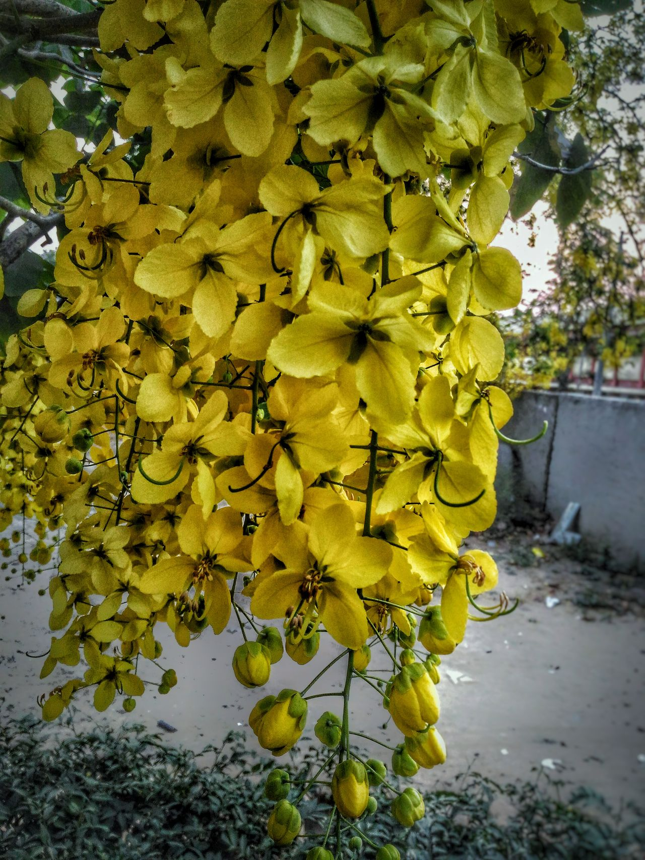 Every Flower is a Soul Blossming In nature Yellow Outdoors Beauty In Nature Freshness Flower Mobile Photography Photo Of The Day Mobilephotography EyeEm Gallery EymEm Nature Lovers Art Is Everywhere EymEmNewHere EyeEmNewHere EyeEm Diversity Visual Feast Mobilephoto Flowerporn Flower Collection Nature Photography Close-up No People Eyemmarket