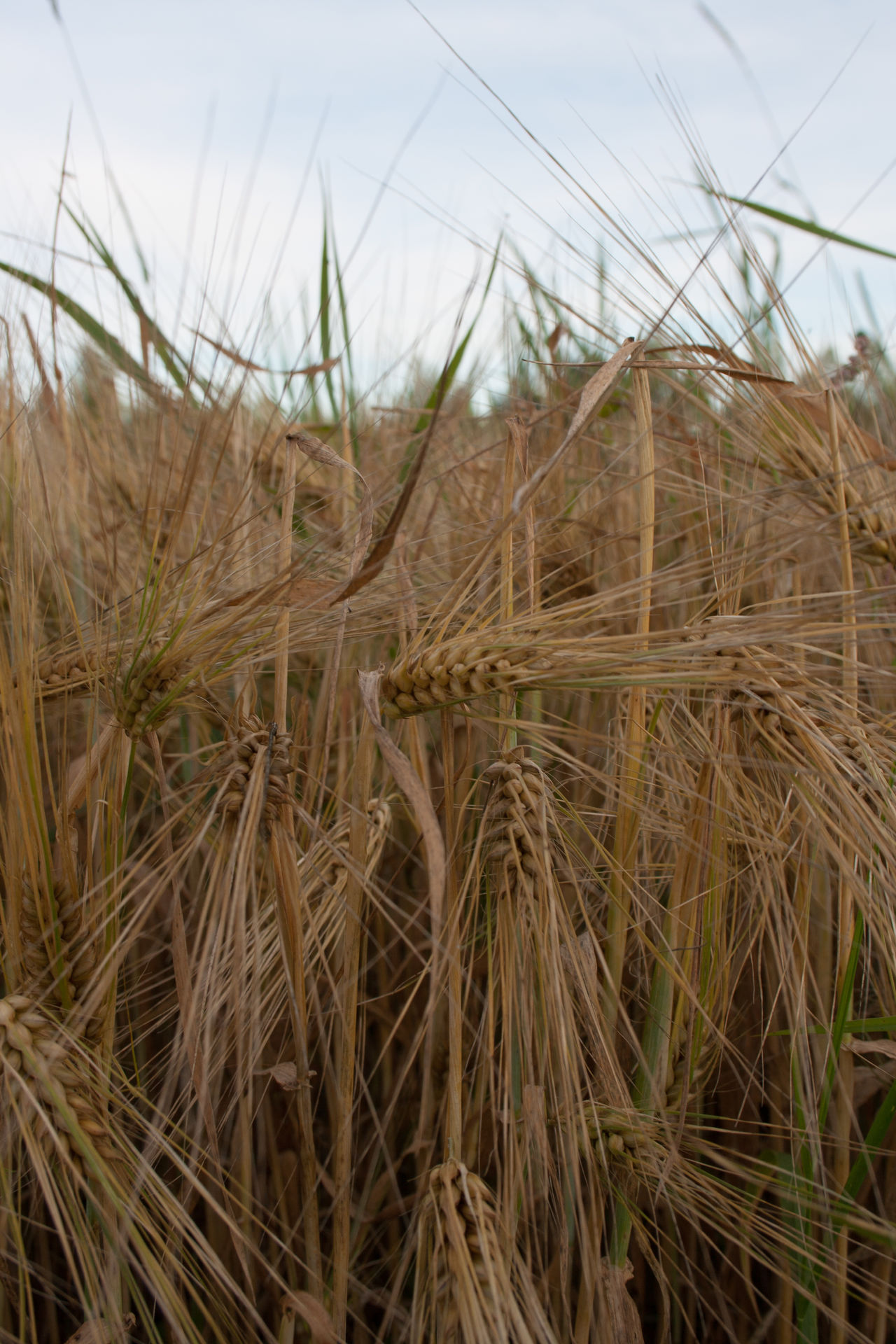A field of barley. Agriculture Barley Barley Field Beauty In Nature Close-up Crop  Cultivated Land Day Field Focus On Foreground Growing Landscape Nature Outdoors Plant Canon Eos 400d Korn Cebada Ohra