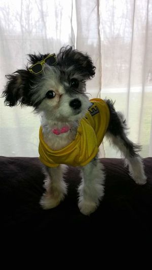 Looking At Camera Portrait One Animal Animal Themes No People Yellow Pets Domestic Animals Animal Lover By Heart✨ Puppy Dog Eyes Puppy Love ❤ Chinese Crested Pets Corner Dog Lovers🐾 My Lap Buddy TRUE LOVE ❤ Dog Clothes All Dressed Up, Nowhere To Go