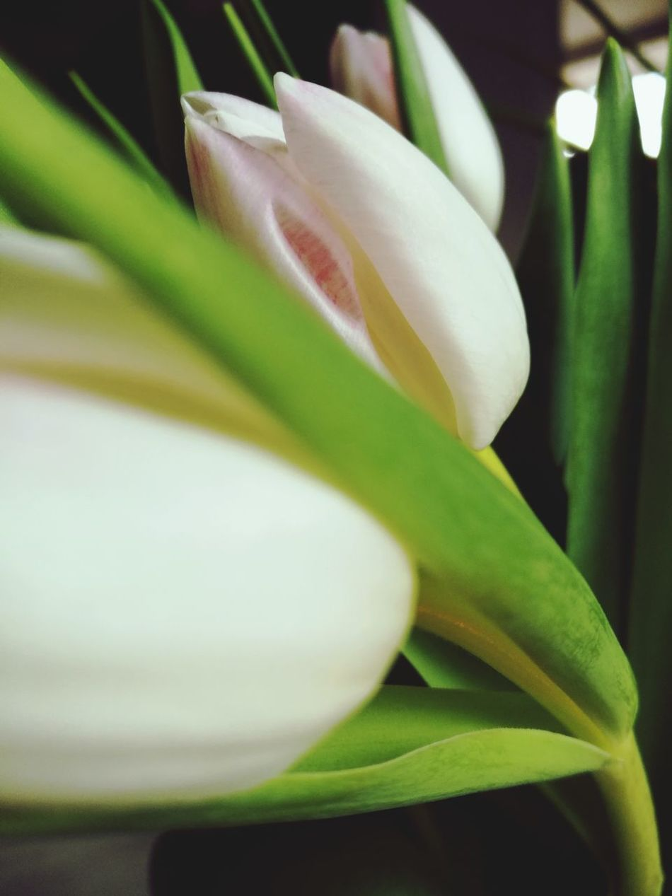 Kwiaty Flower Nature Kwiatywwazonie Tulipanes🌷 Tulipan Growth Plant Beauty In Nature Leaf Green Color Petal Close-up Flower Head Freshness Fragility No People Outdoors Day