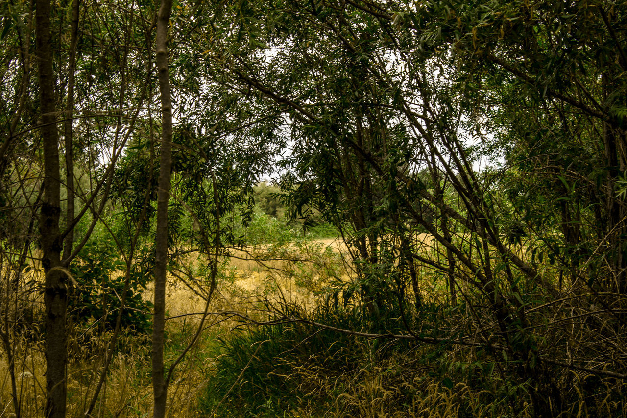 tree, nature, outdoors, forest, tranquility, landscape, scenics, beauty in nature, tranquil scene, growth, no people, grass, day, sky