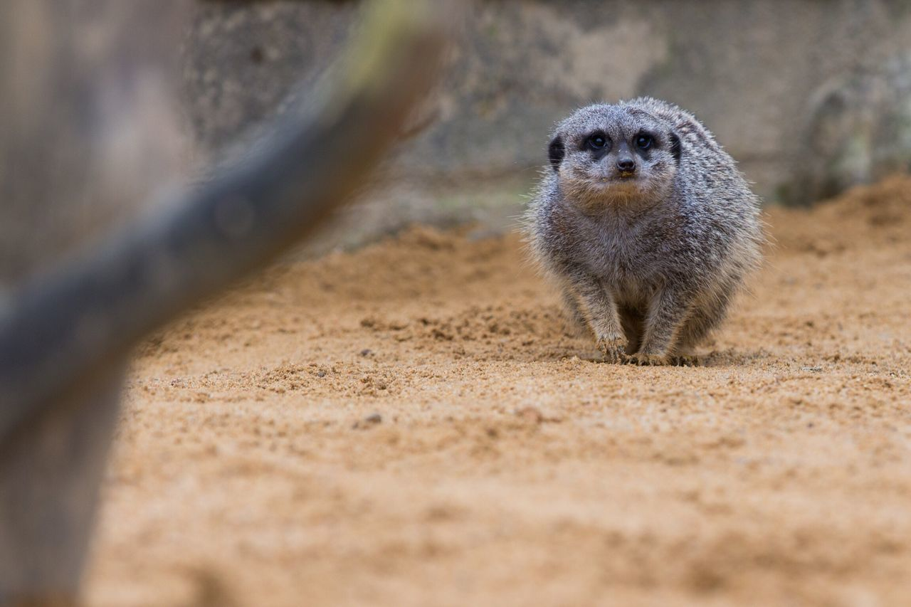Animal Themes One Animal Animals In The Wild Mammal Meerkat Animal Wildlife Nature Outdoors No People Day Close-up Monkey Nature Zoo Nature Photography Low Angle View Focus On Foreground Sand Animals In The Wild Meerkat Movement Looking At Camera