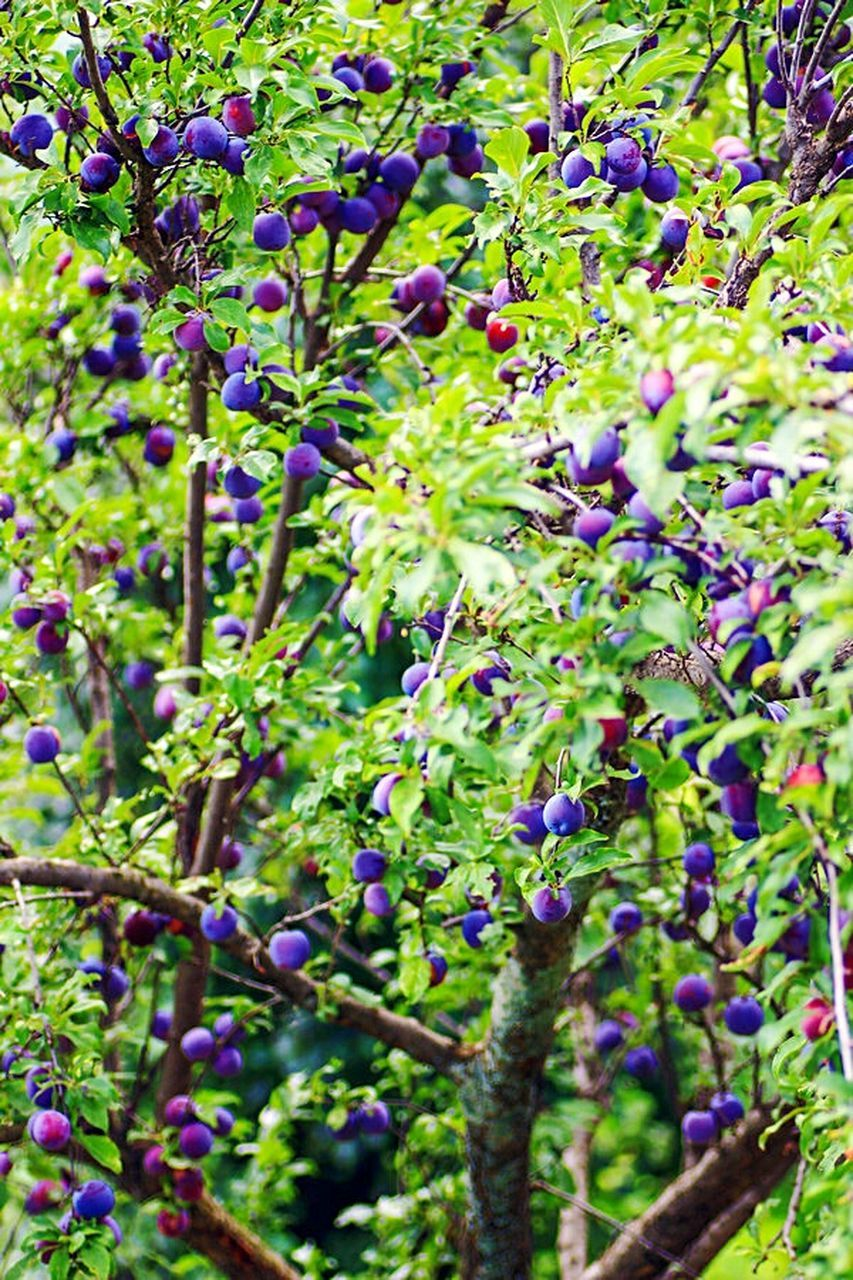 growth, nature, purple, green color, plant, beauty in nature, day, outdoors, no people, tree, freshness, fragility, close-up
