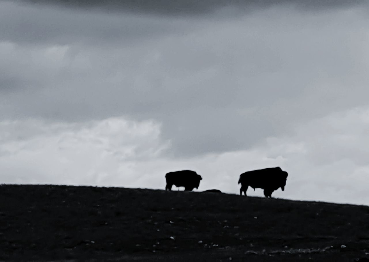 silhouette, animal themes, two animals, cloud - sky, sky, mammal, nature, no people, field, cow, outdoors, standing, landscape, livestock, day, animals in the wild, domestic animals, beauty in nature