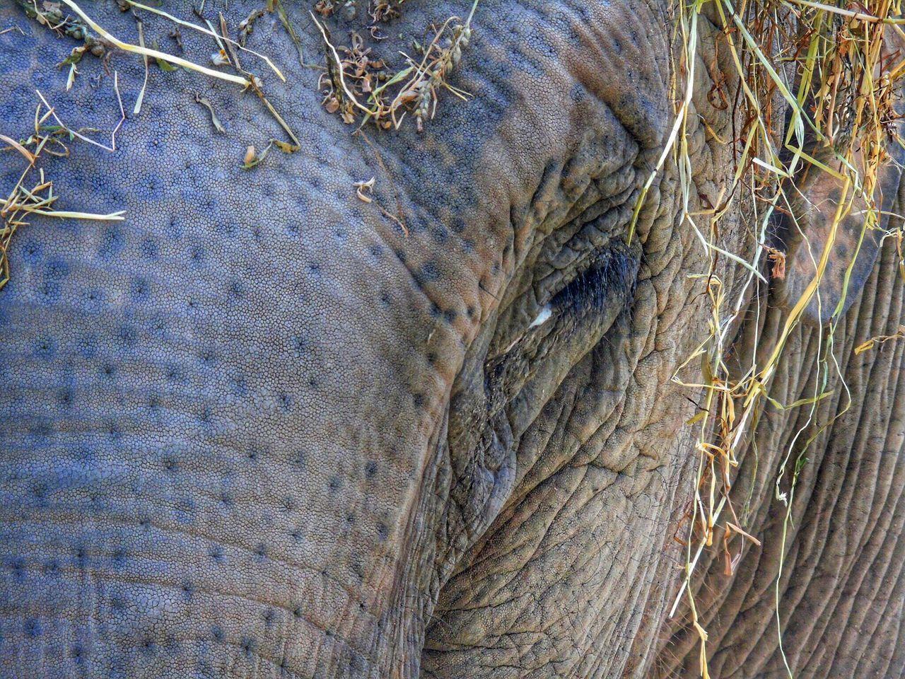 one animal, animal themes, animal wildlife, animal body part, animals in the wild, animal skin, mammal, no people, day, outdoors, close-up, nature, safari animals, african elephant