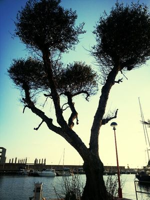 Tree at Anzio by Alessio