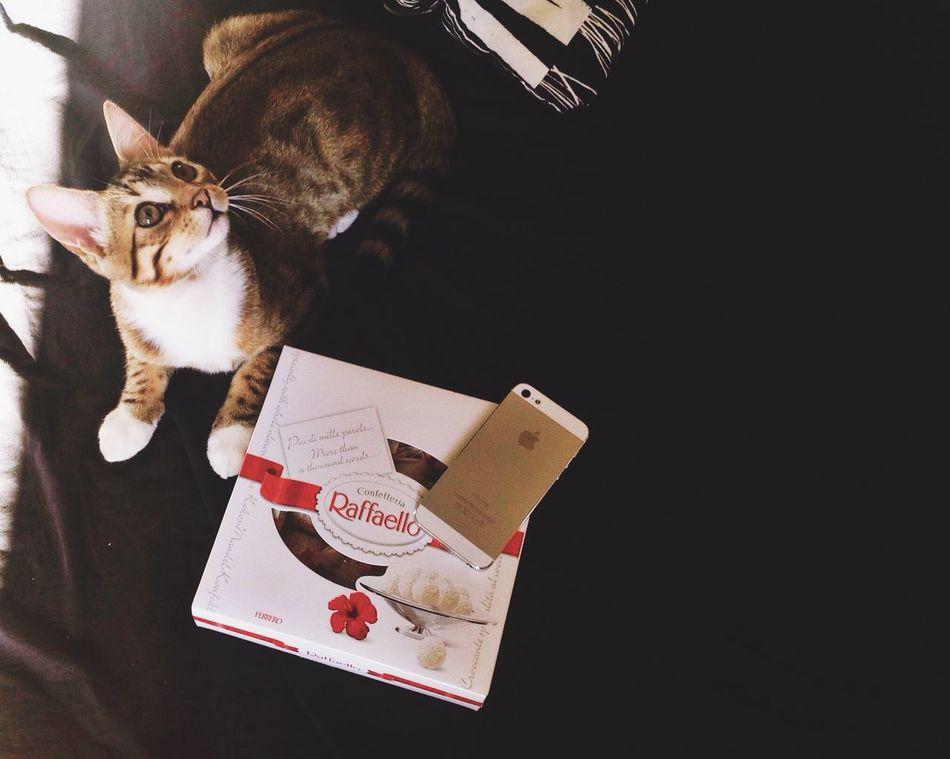 Bengal Little Cat Bengalcat  Candies! IPhone ❤️