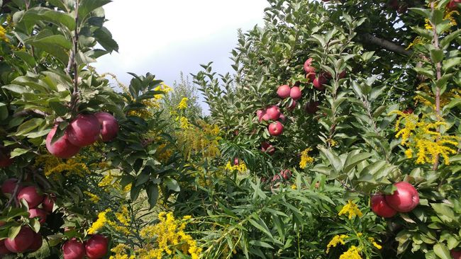 Nature Beauty In Nature Tree Fruit Autumn Fall Agriculture Orchard Seasonal Apples Apple Tree Tree Freshness Farm Nature Goldenrod