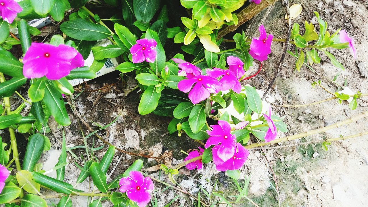flower, growth, high angle view, pink color, petal, fragility, plant, outdoors, nature, leaf, purple, day, no people, beauty in nature, freshness, flower head, blooming, petunia, periwinkle, close-up