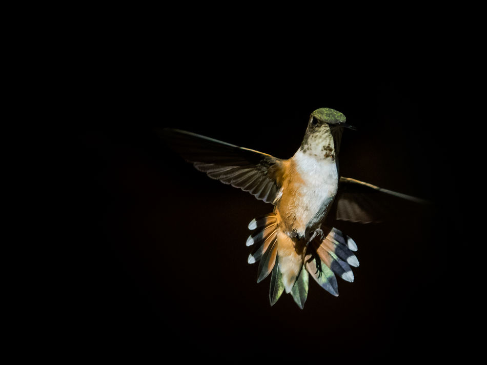 Animal Themes Animal Wildlife Animals In The Wild Bird Bird In Flight Black Background Close-up Day Flying Hummingbird Mid-air Nature No People One Animal Outdoors Rufous Rufous Hummingbird Spread Wings