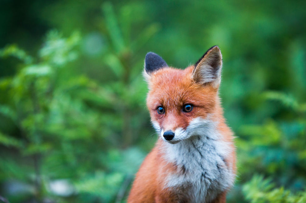 Animal Themes Animal Wildlife Animals In The Wild Close-up Day Focus On Foreground Fox Looking At Camera Mammal Nature No People One Animal Outdoors Portrait Stealth