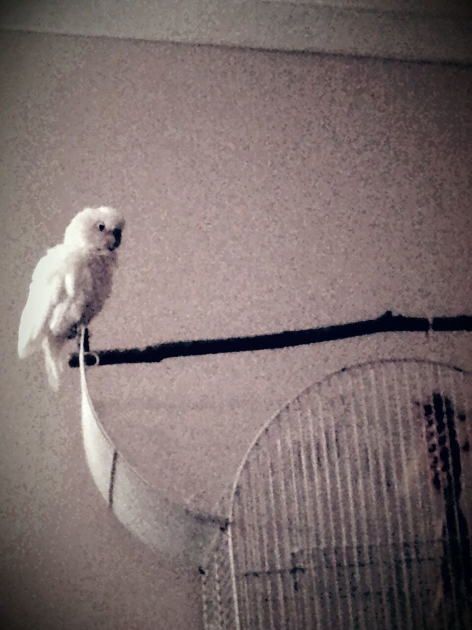 Goffin Cockatoo Parrot Lover Enjoying Life Taking Photos Parrot Love I Love My Pet Hanging Out Relaxing Bird Photography