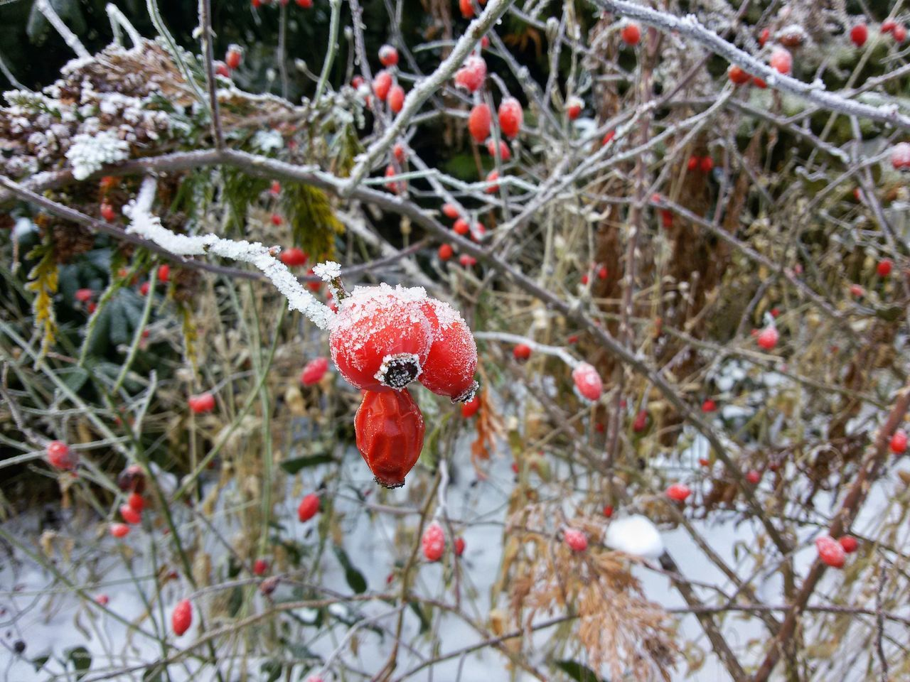 Frozen Rose Hips Rose Hips Nature Rose Hip Red Winter Cold Temperature Snow Fruit No People Wild Hoarfrost Hoar Frost Frozen