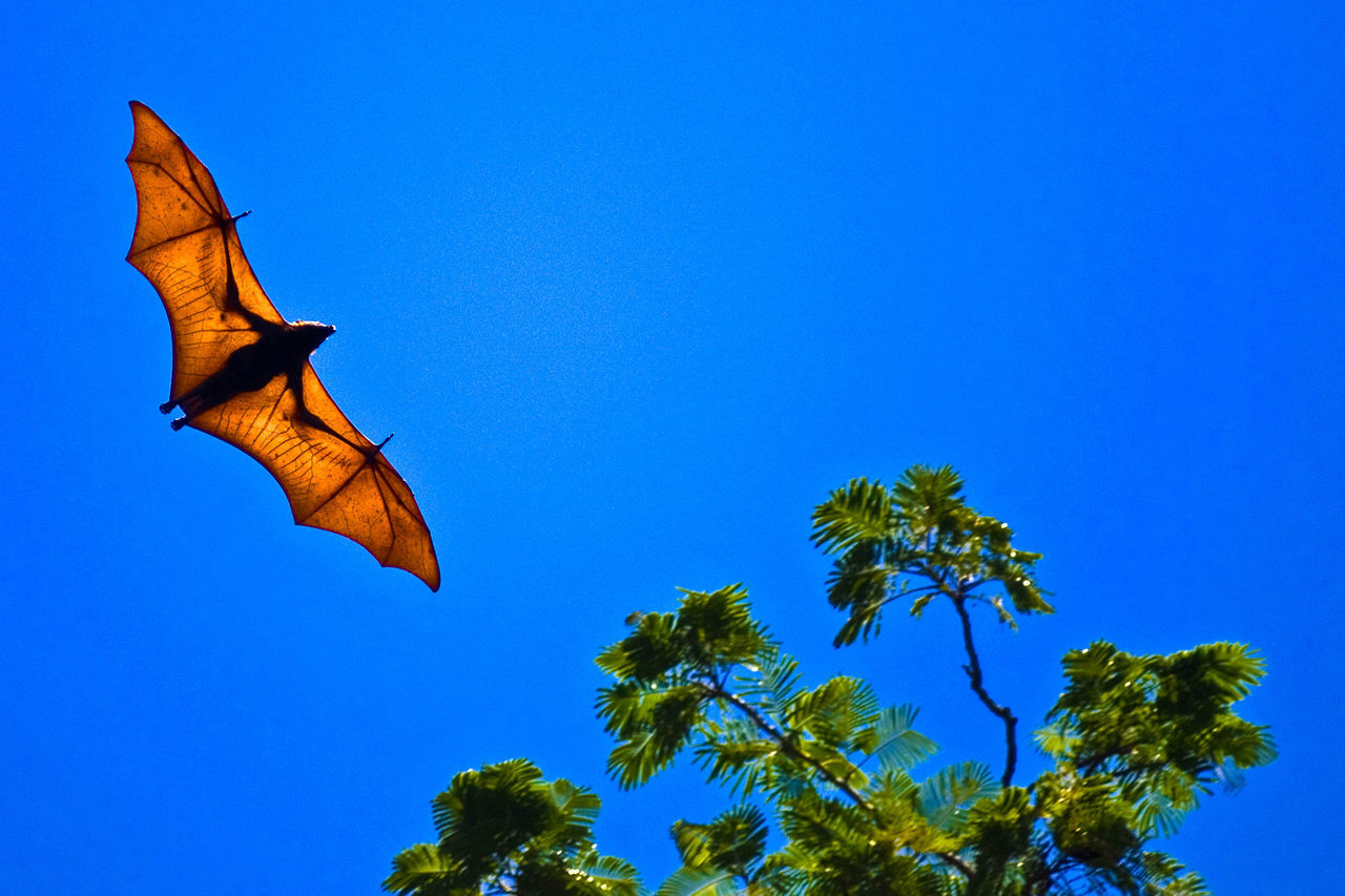 Beautiful stock photos of bat,  Animals In The Wild,  Bat,  Blue,  Clear Sky