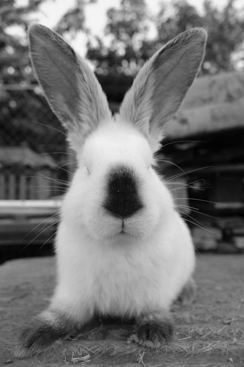 One Animal Rabitt Domestic Animals Animal Themes Portrait Cute Animal Looking At Camera Black Color Pets Mammal Close-up Animal Ear Front View Ear Outdoors No People Sitting Day Sky